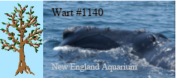 Right whale Wart #1140