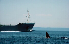 right whale in shipping lane in Bay of Fundy