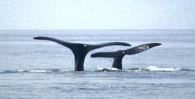 mother and calf right whale diving